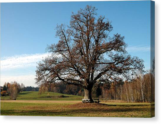 Oak Tree With Benches Canvas Print