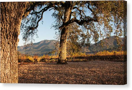 Oak Trees In The Vineyard Canvas Print by Kent Sorensen