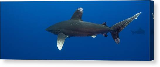 Images By Mark Andrews Canvas Print - Oceanic Whitetips Near And Far by Mark Andrews
