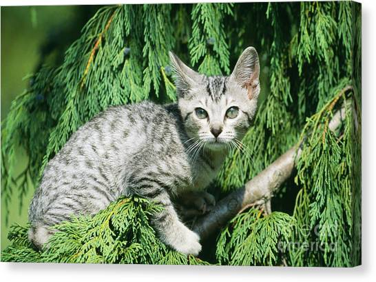 Ocicats Canvas Print - Ocicat Kitten by Jean-Michel Labat