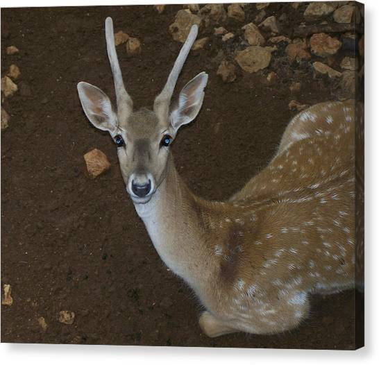 Oh Deer Canvas Print by Noreen HaCohen
