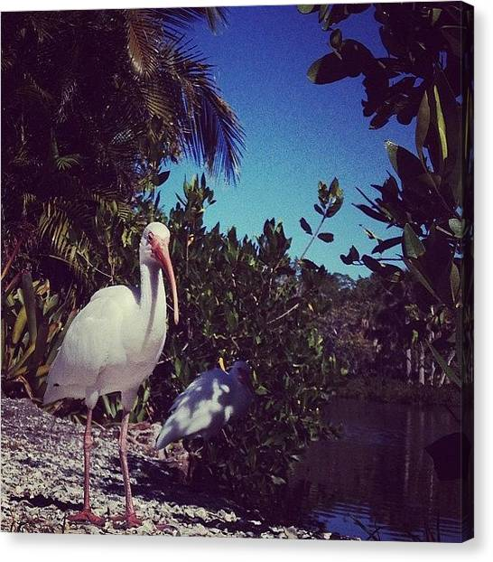 Ibis Canvas Print - Oh, Hello. #ibis by Katie Cupcakes