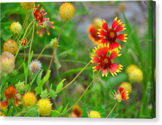 Oklahoma Wildflowers Canvas Print