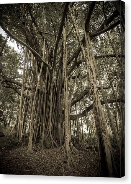Old Banyan Tree Canvas Print