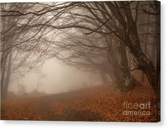 Old Beech Trees In Fog Canvas Print
