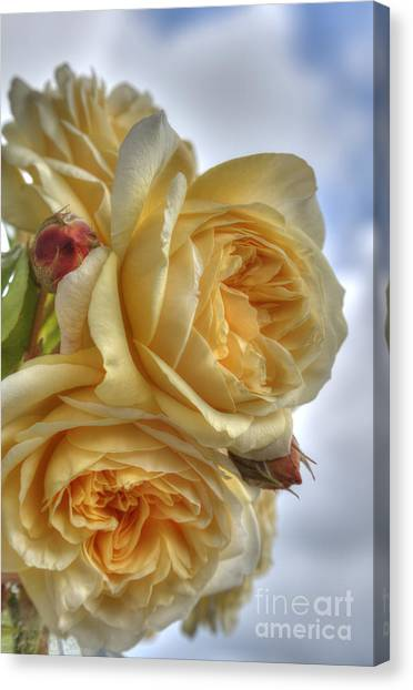 Old Fashion Roses Canvas Print