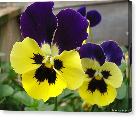 Old-fashioned Pansies Canvas Print