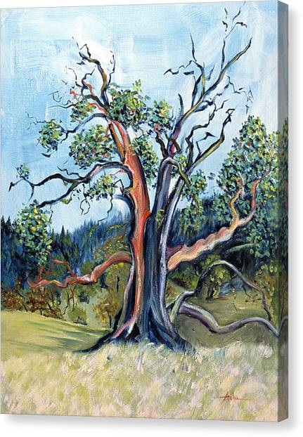 Old Madrone Tree In November  Canvas Print