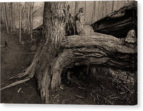 Old Oak 2 Canvas Print