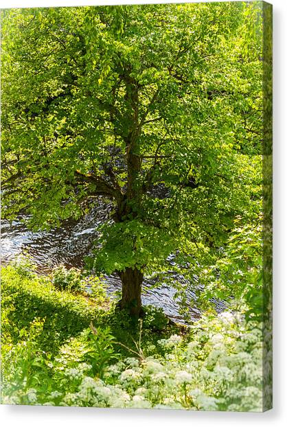 Old Small Leaved Lime At The Riverbank In Oravi Canvas Print