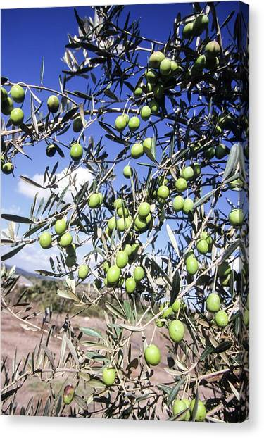 Wild Orchards Canvas Print - Olive Tree by Photostock-israel