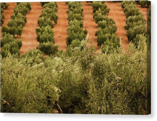 Andalusia Canvas Print - Olive Trees In A Field, Jaen, Jaen by Panoramic Images