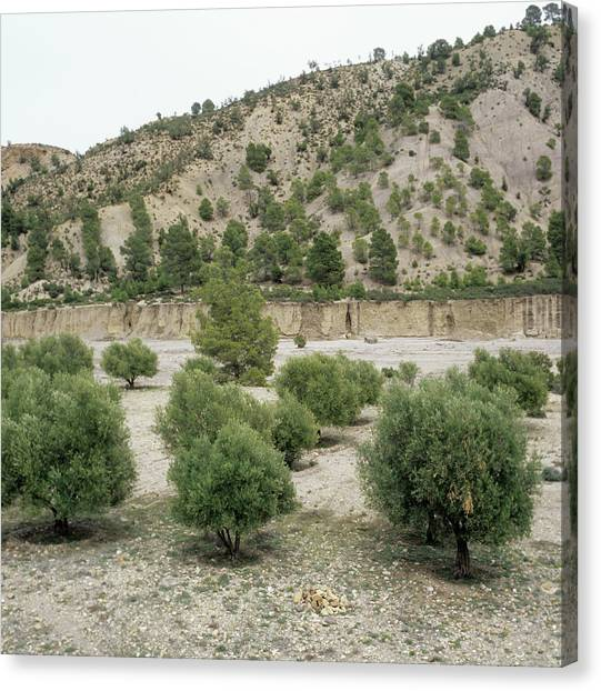 Olive Trees Canvas Print by Mark De Fraeye/science Photo Library