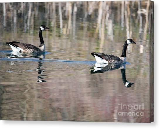 Canada Goose Canvas Print - On Golden Pond by Mike Dawson