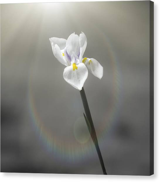 Cape Lily Canvas Print - On My Own by Carolyn Marshall