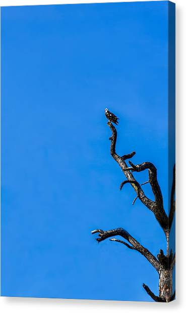 Osprey Canvas Print - On Point by Marvin Spates