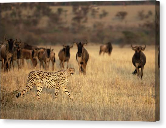 Cheetahs Canvas Print - On The Hunt by Renee Doyle