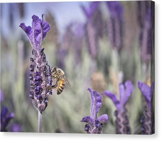 Canvas Print featuring the photograph On The Lavender  by Priya Ghose