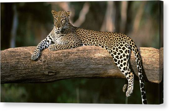 Leapords Canvas Print - On The Look Out by Emily Henderson