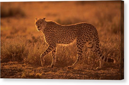Cheetahs Canvas Print - On The Rise by Mohammed Alnaser