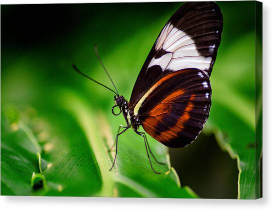 On The Wings Of Beauty Canvas Print