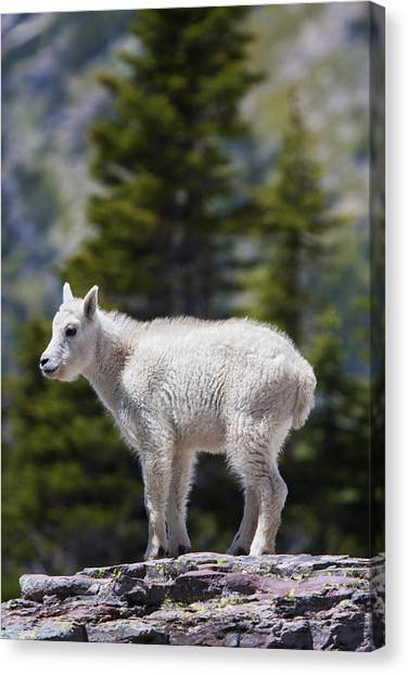 Goat Canvas Print - On Top Of The World by Mark Kiver