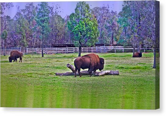 One Bison Family Canvas Print