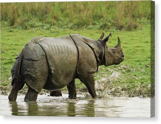 One Horned Rhino Canvas Print - One-horned Rhinoceros, Coming by Jagdeep Rajput