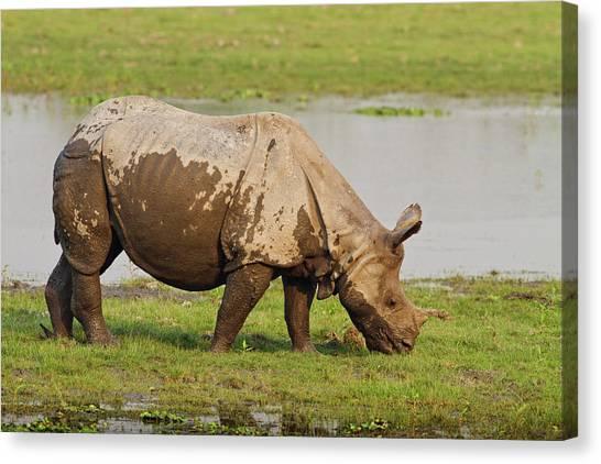 One Horned Rhino Canvas Print - One-horned Rhinoceros Feeding by Jagdeep Rajput