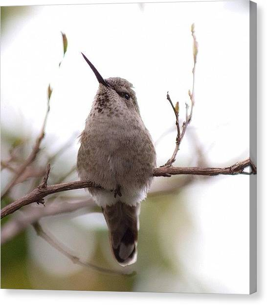 Hummingbirds Canvas Print - One More Of The Baby Tonight ☺️ by Patty Warwick