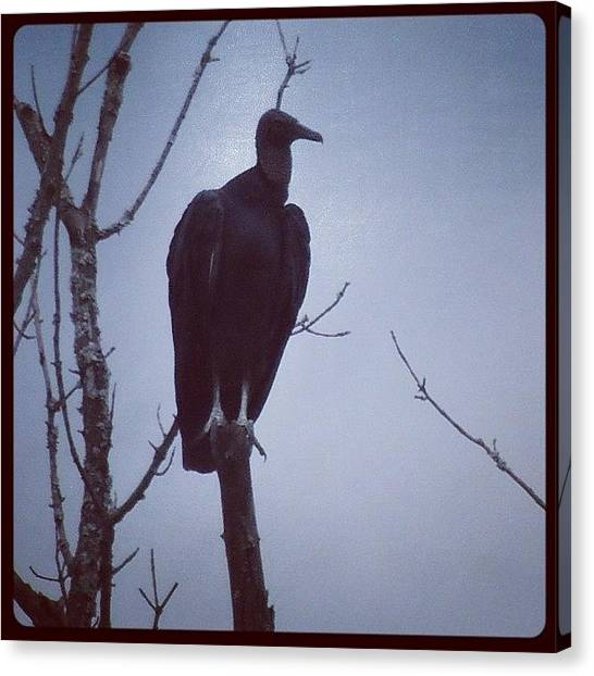 Vultures Canvas Print - One More #vulture For by Robb Needham