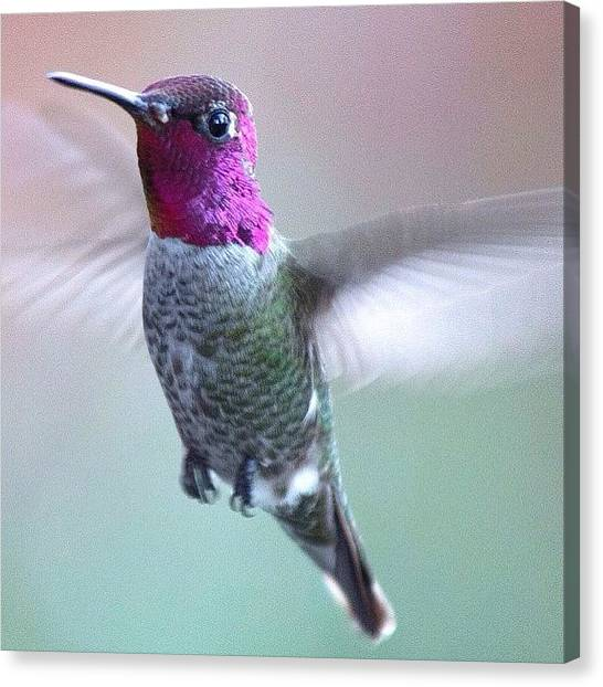 Hummingbirds Canvas Print - One Of My Little Guys Between Raindrops by Patty Warwick
