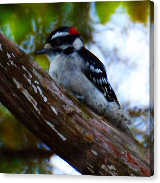 Woodpeckers Canvas Print - One Of Two Downy Woodpeckers In A Cedar by Kerri Ann Crau
