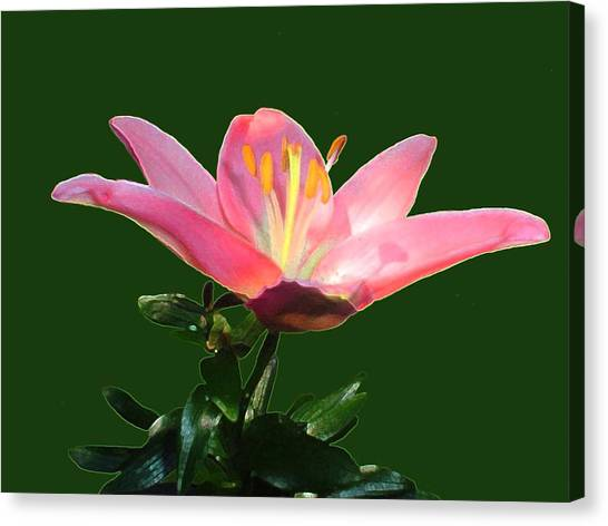 Open Pink Lily Canvas Print by Annmarie Clarke