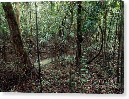 Amazon Rainforest Canvas Print - Open Varzea Forest by Gregory G. Dimijian, M.D.