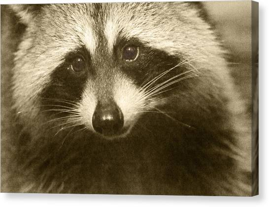 Raccoons Canvas Print - Opportunist by Susan Capuano