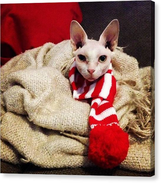 Sphynx Cats Canvas Print - Opted For A Christmas Scarf For by Samantha Charity Hall