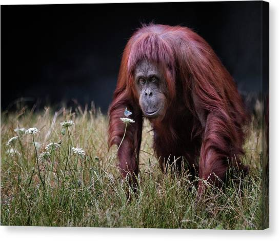 Bug Canvas Print - Orang-utan With Butterfly. by Hugh Wilkinson