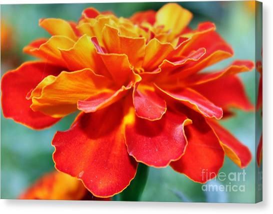 Orange And Yellow Marigold Canvas Print by Judy Palkimas
