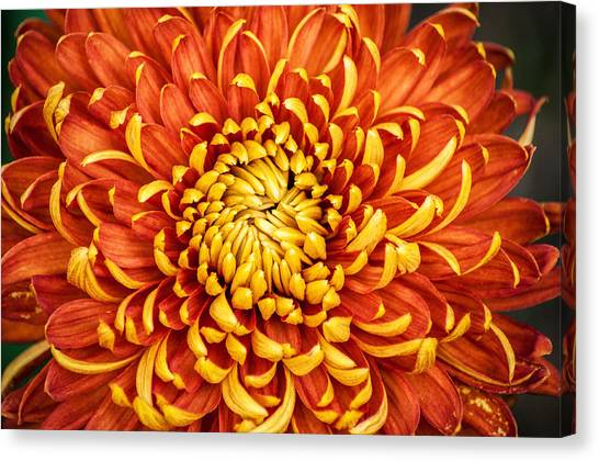 Orange And Yellow Mum Canvas Print