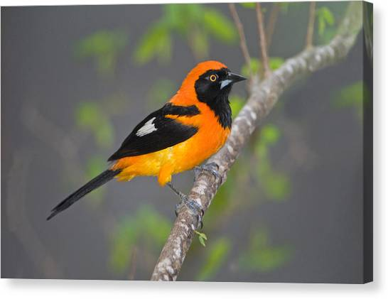 The Pantanal Canvas Print - Orange-backed Troupial Icterus by Panoramic Images