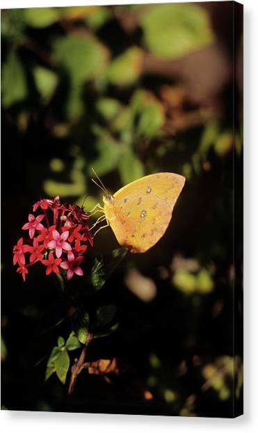 Sulfur Butterfly Canvas Print - Orange-barred Giant Sulphur Butterfly by Sally Mccrae Kuyper/science Photo Library