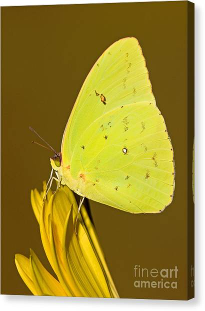 Sulfur Butterfly Canvas Print - Orange Barred Sulfur Butterfly by Millard H Sharp