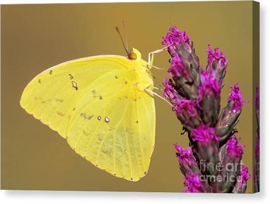 Sulfur Butterfly Canvas Print - Orange-barred Sulphur by Millard H. Sharp