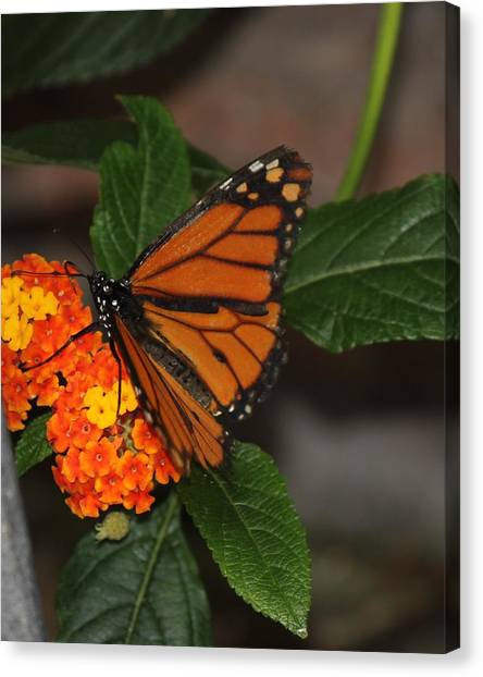 Orange Butterfly On Flowers Canvas Print