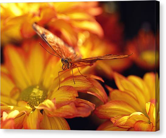 Orange Butterfly On Yellow Mums Canvas Print