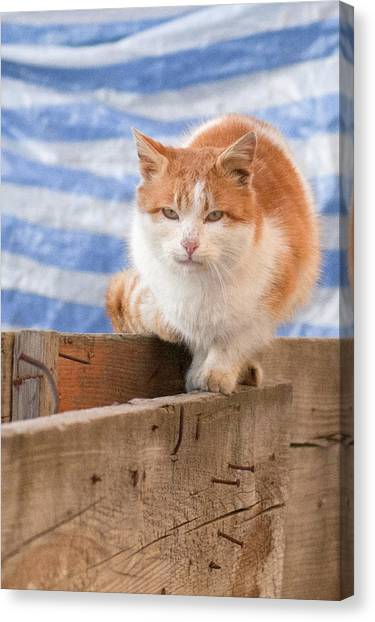 Orange Cat  Canvas Print