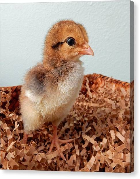 Orange Chick Canvas Print