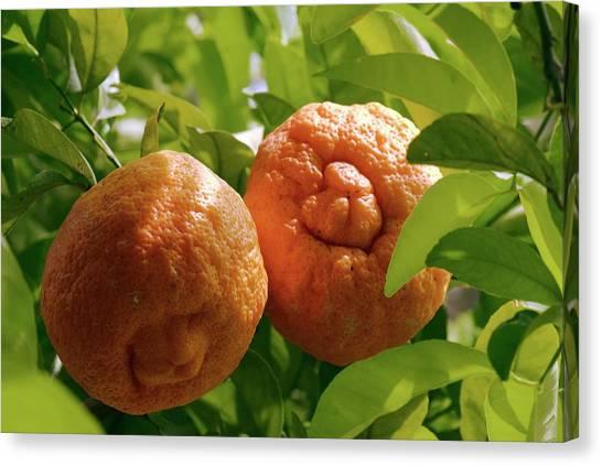 Orange (citrus Sinensis) Tree In Fruit Canvas Print by Adrian Thomas