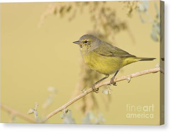 Orange Crowned Warbler Canvas Print
